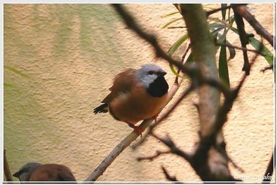 Gürtelgrasfink