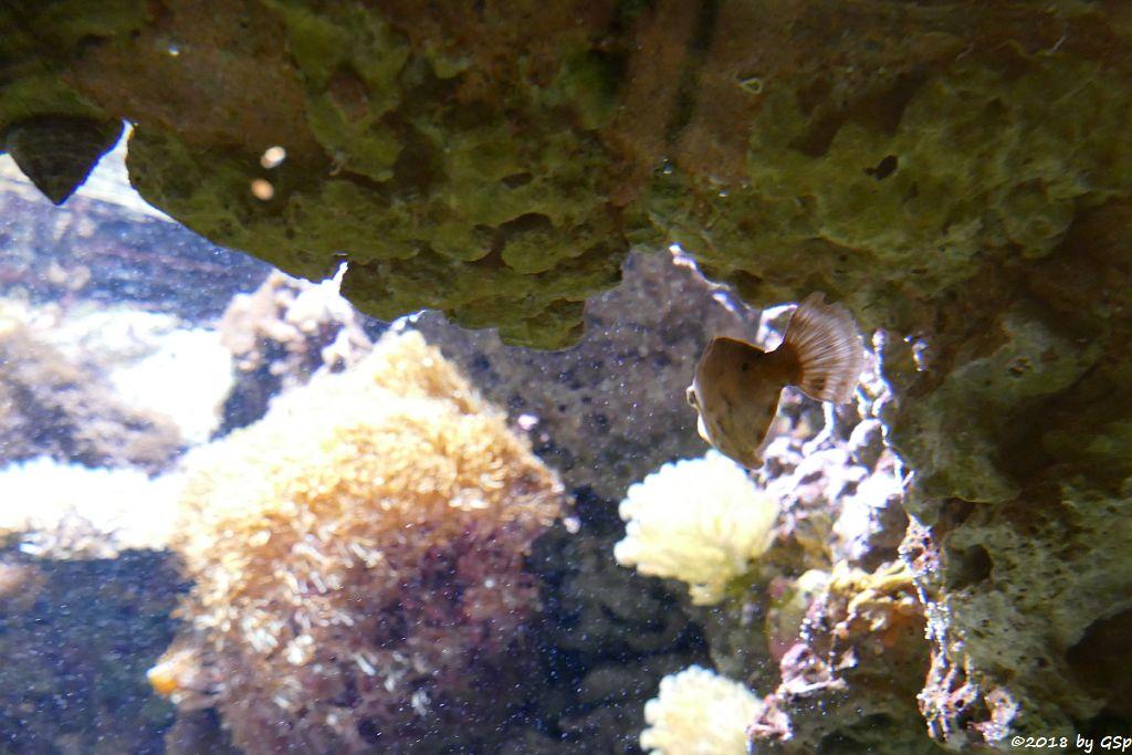 Seegras-Feilenfisch
