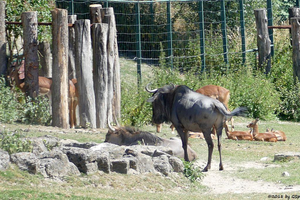 Südliches Streifengnu (Blaues Gnu), Impala (Schwarzfersenantilope)