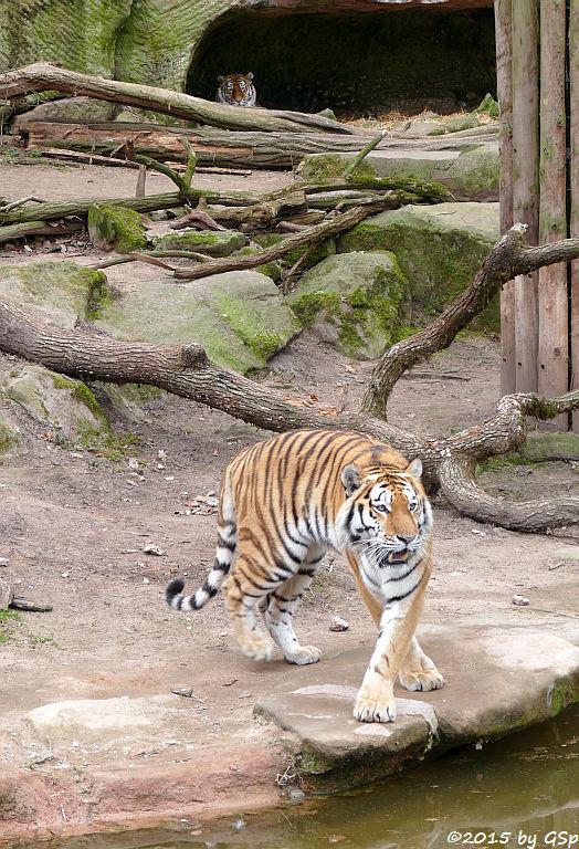 Sibirischer Tiger SAMUR und KATHINKA
