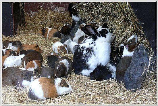 Kaninchen und Hausmeerschweinchen