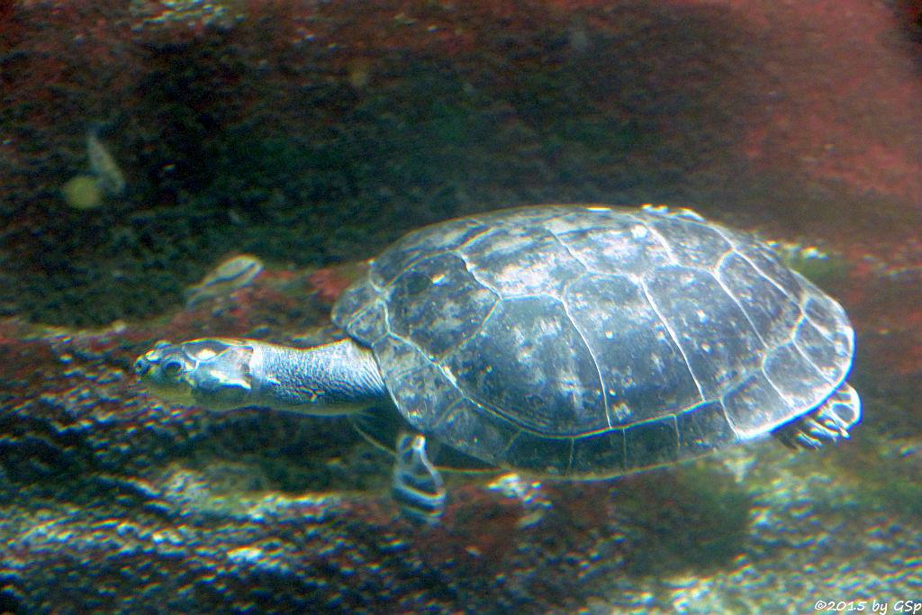Terekay-Schienenschildkröte