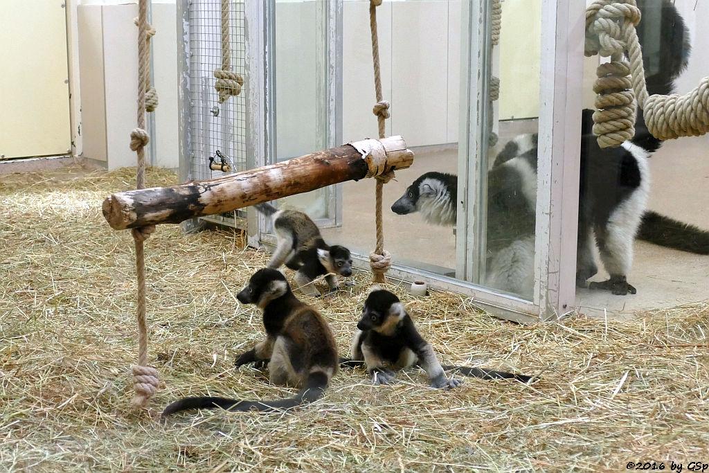 Gürtelvari, Jungtiere geb. am 26.3.16 (4 1-2 Wochen alt)