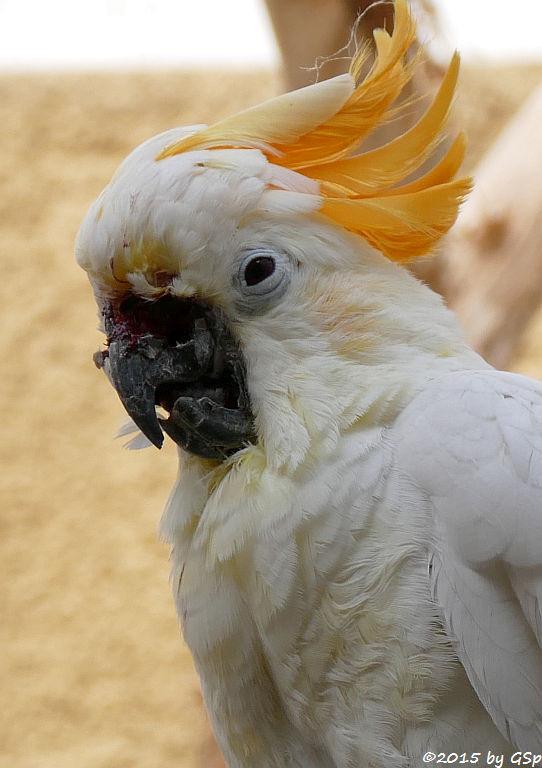 Orangehauben-Kakadu