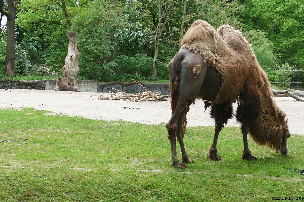 Trampeltier (Zweihöckriges Kamel, Hauskamel), Jungtiere geb. am 25.3. u.4.4.18
