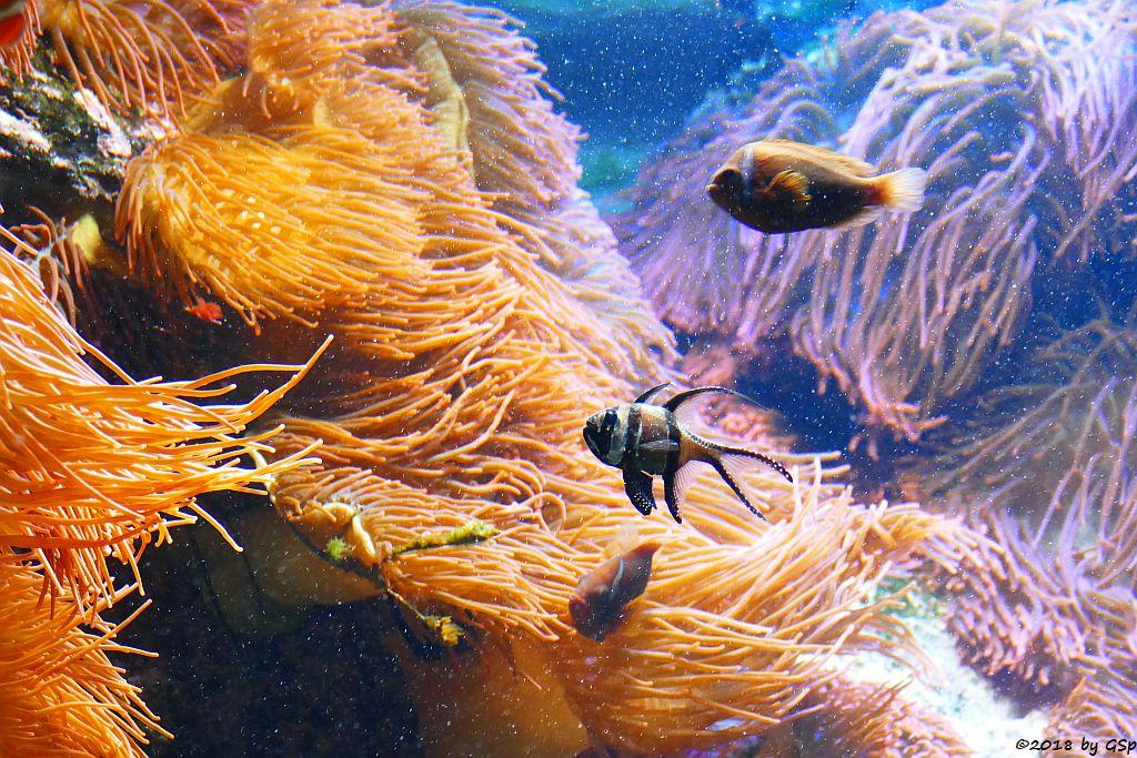 Banggai-Kardinalbarsch (Molukken-Kardinalfisch, Zebra-Kardinalbarsch), Schwarzflossen-Anemonenfisch