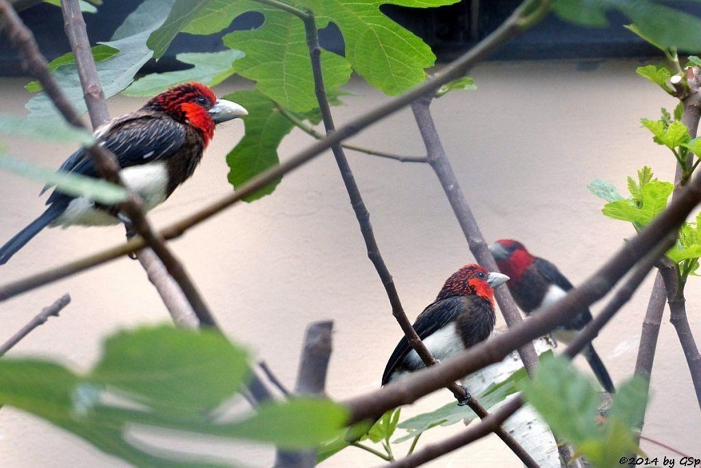 Braunbrustbartvogel