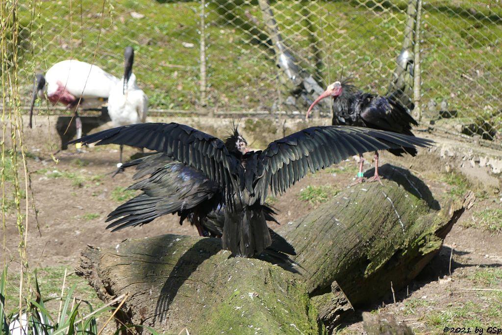 Schwarzkopfibis (Schwarzhalsibis), Waldrapp