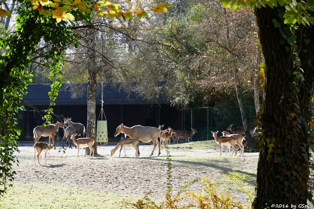 Hirschziegenantilope, Nilgauantilope, Axishirsch