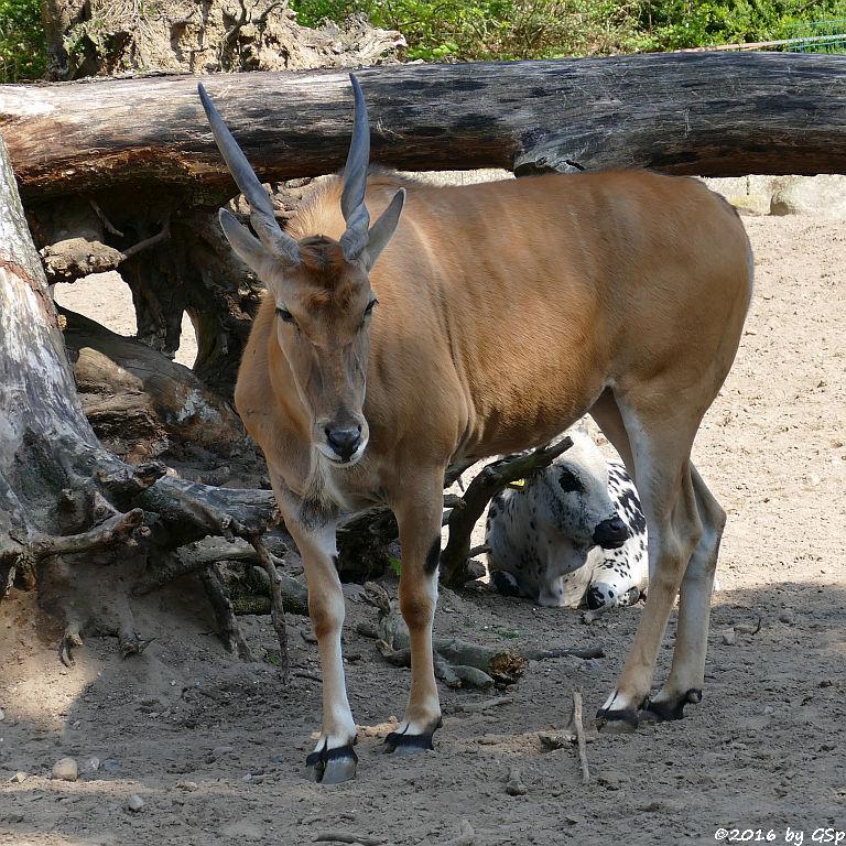 Elen-Antilope, Zwerg-Zebu