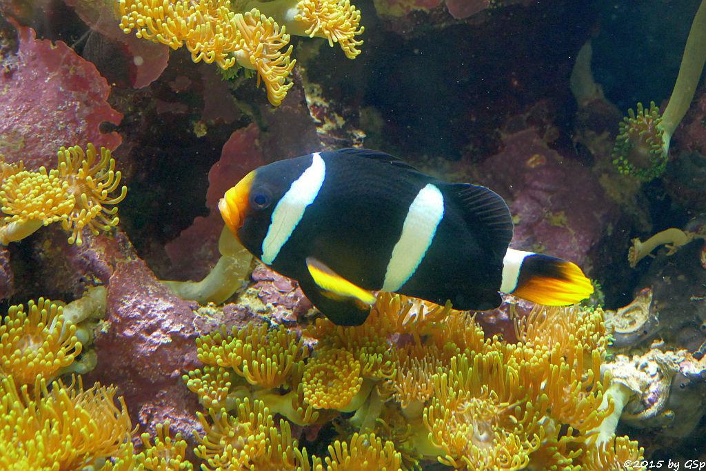 Clarks Anemonenfisch