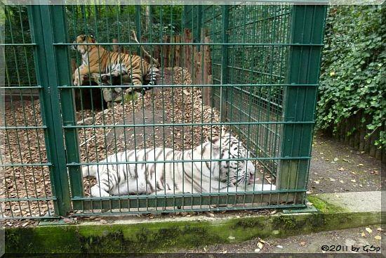 Weißer Tiger, Sibirischer Tiger