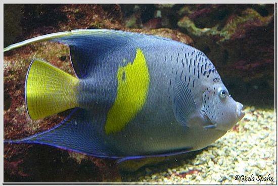 Sichelkaiserfisch