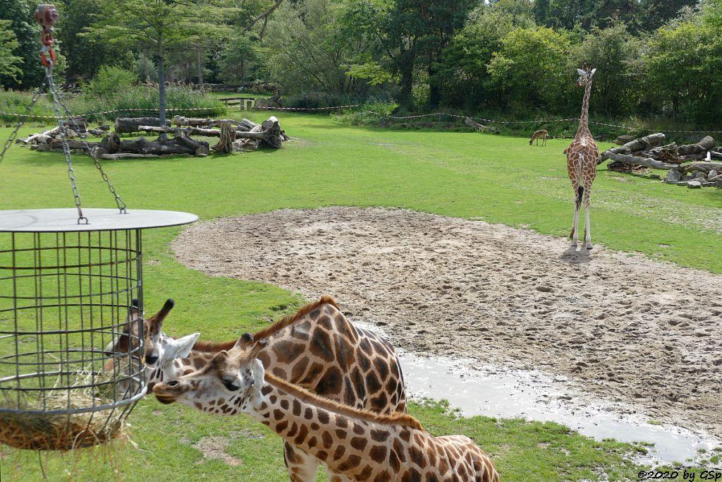 Rothschildgiraffe (Uganda-Giraffe, Baringo-Giraffe), Weißnacken-Moorantilope (Mrs. Grays Wasserbock)