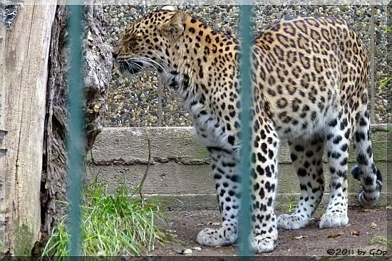 Indischer Leopard