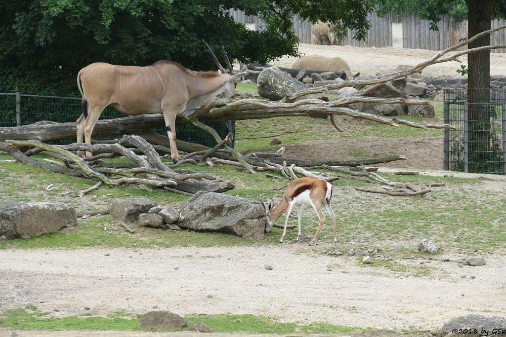 Elenantilope, Thomsongazelle, Südliches Breitmaulnashorn
