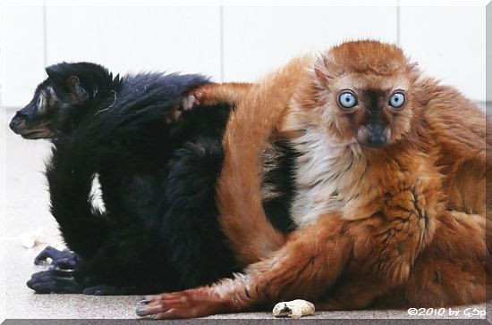 Sclater's Maki (Blauäugiger Mohrenmaki)