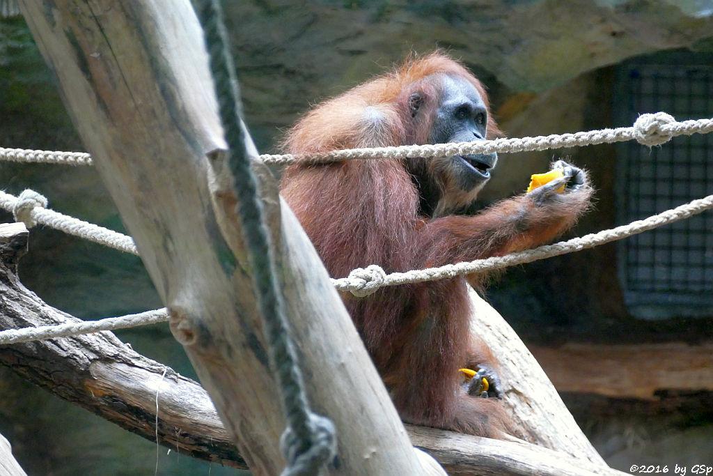 Sumatra-Orang-Utan DJAMBI