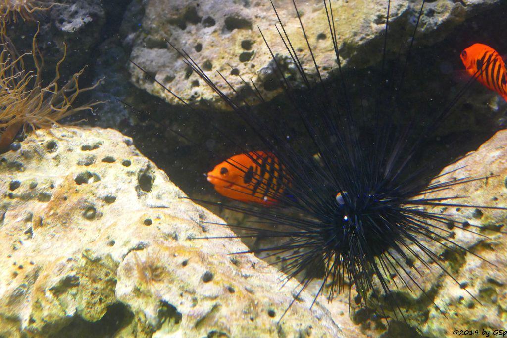 Diadem-Seeigel, Feuer-Zwergkaiserfisch (Flammenherzogsfisch)
