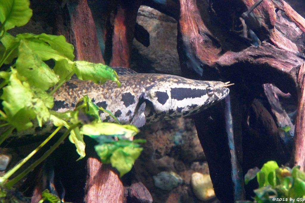 Dunkelbäuchiger Schlangenkopf (Dunkelbäuchiger Schlangenkopffisch, Brauner Schlangenkopf)