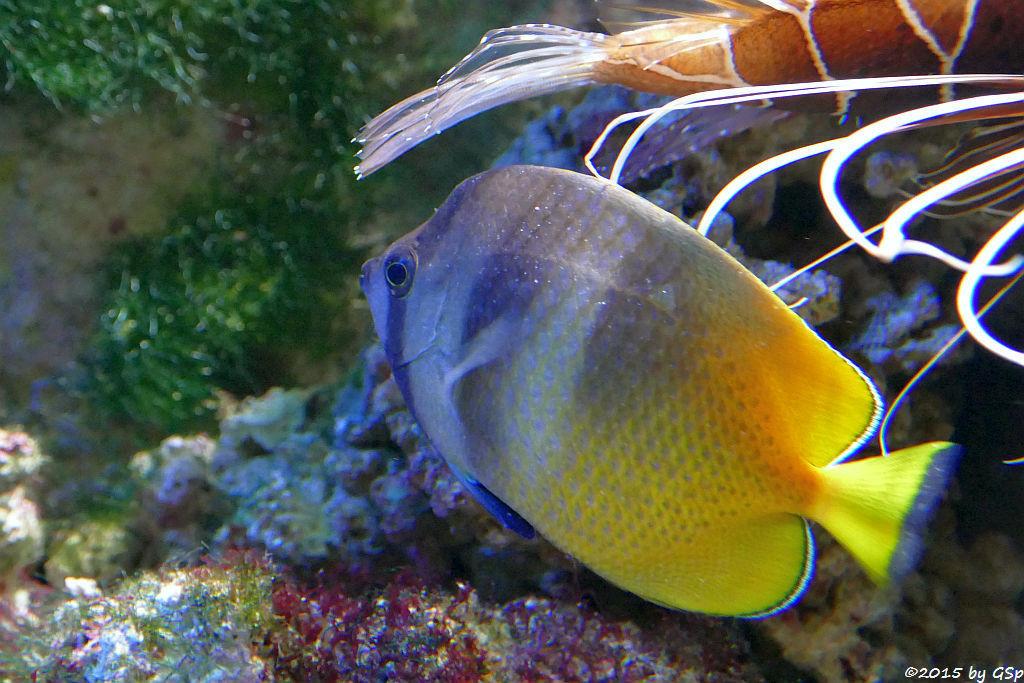 Braungelber Falterfisch (Kleins Falterfisch)