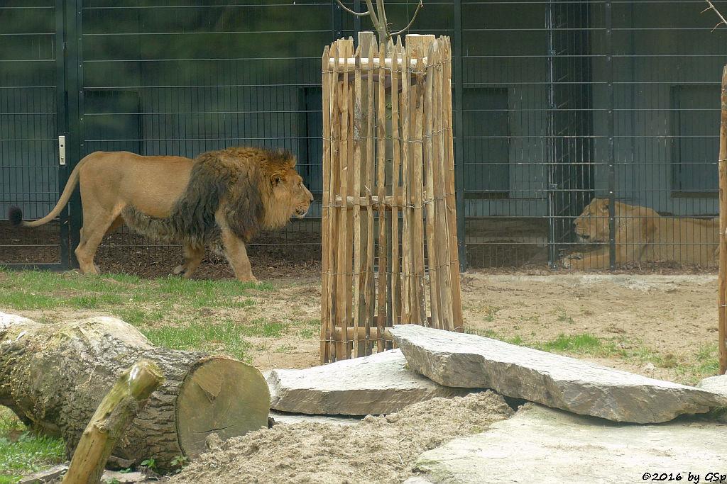 Asiatische Löwen TEJAS und JAMUNA