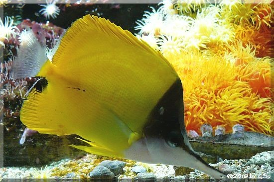 Gelber Maskenpinzettfisch
