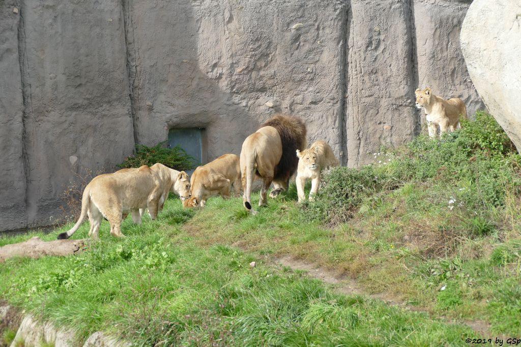 Löwe, Jungtiere geb. Ende Januar 2019
