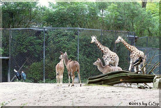 Marabu, Rothschild-Giraffe, Großer Kudu, Nördl. Hornrab