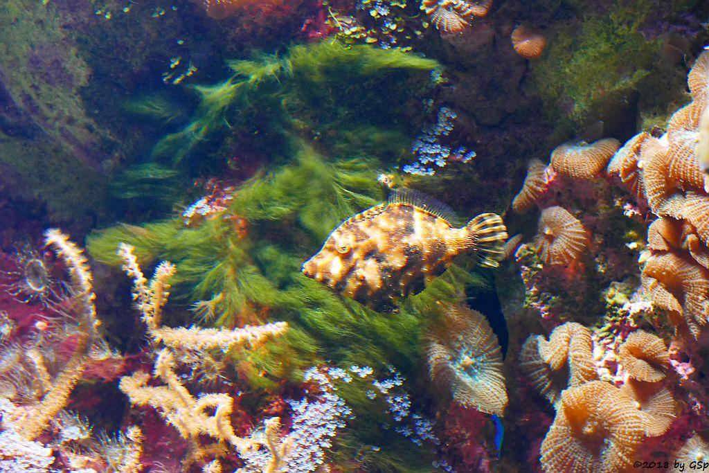 Tangfeilenfisch (Seegras-Feilenfisch, Gefleckter Bürstenschwanz-Feilenfisch)