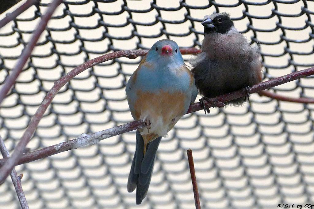 Blaukopfschmetterlingsfink, Elfenastrild