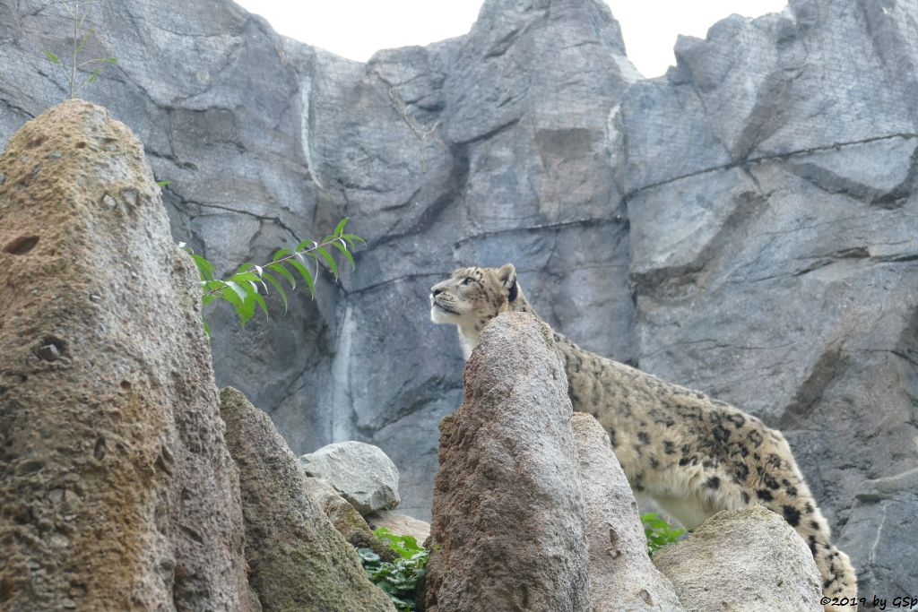 Schneeleopard (Irbis, Unze)