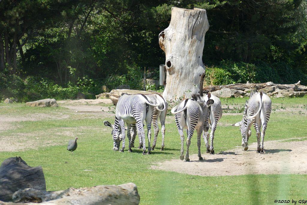 Helmperlhuhn, Grévy-Zebra