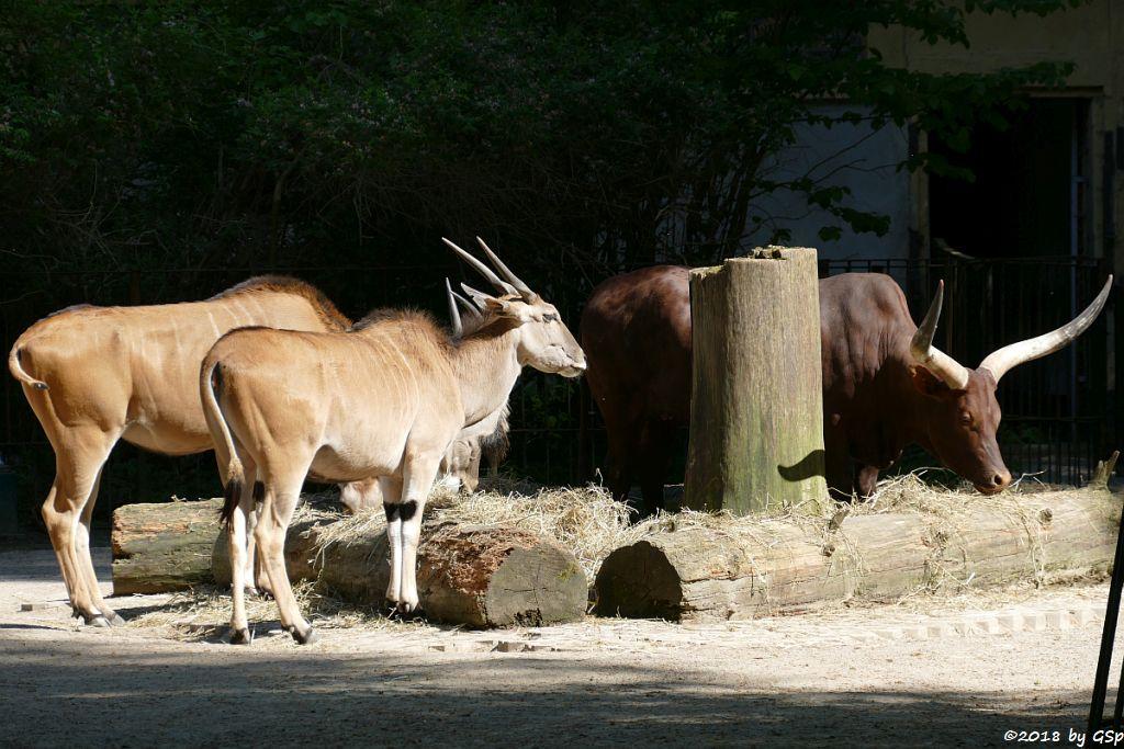 Elenantilope, Watussi-Rind (Ankole, Akole-Rind)