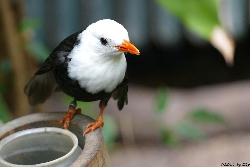 China-Rotschnabelbülbül (Weißkopf-Schwarzbülbül, Rotschnabel-Fluchtvogel)