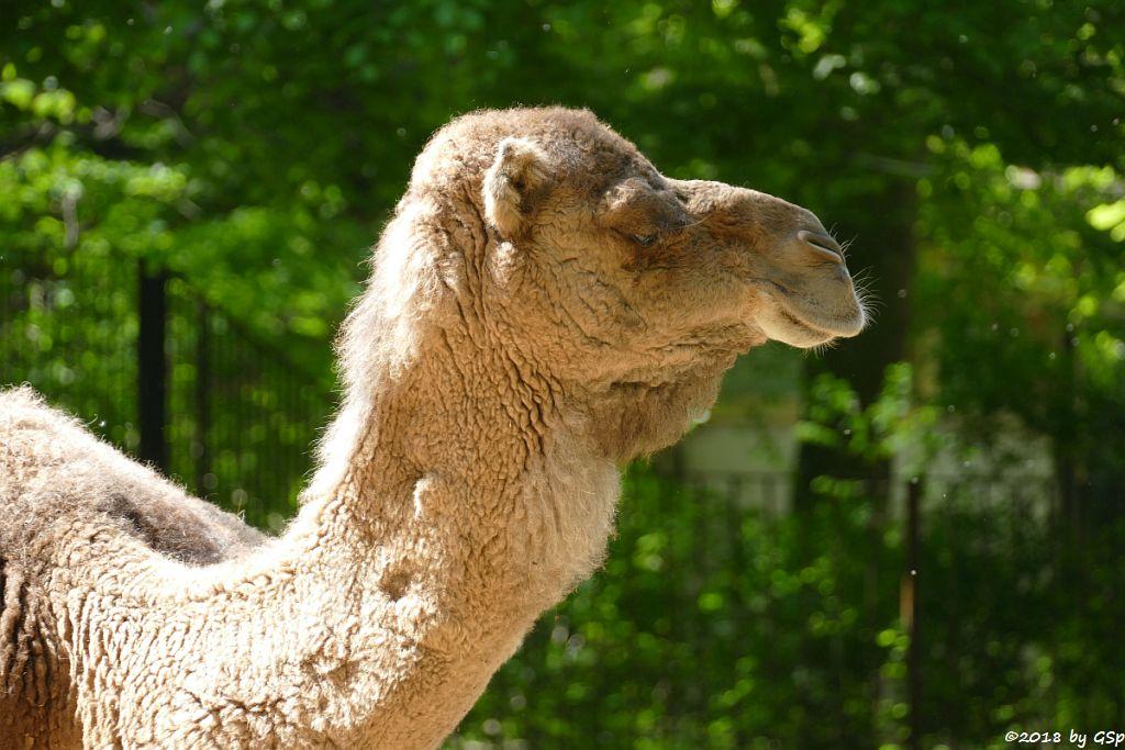 Dromedar (Einhöckriges Kamel, Arabisches Kamel)