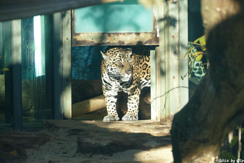Jaguar LADYBIRD