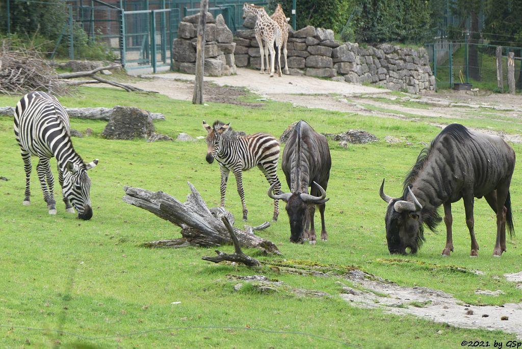 Böhm-Steppenzebra (Grant-Zebra) BAKARI, geb. 21.8.21, Südliches Streifengnu (Blaues Gnu), Rothschildgiraffe (Uganda-Giraffe, Baringo-Giraffe)