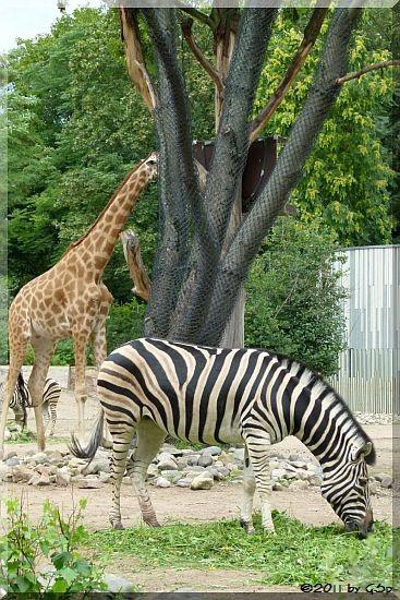 Chapman-Zebra und  Westafrikan. Giraffe (Kordofan-Giraffe) DIKO