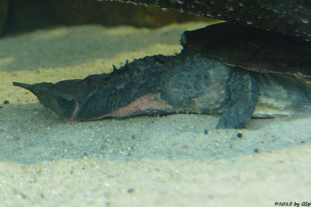 Matamata (Fransenschildkröte)