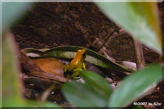 Goldener Pfeilgiftfrosch