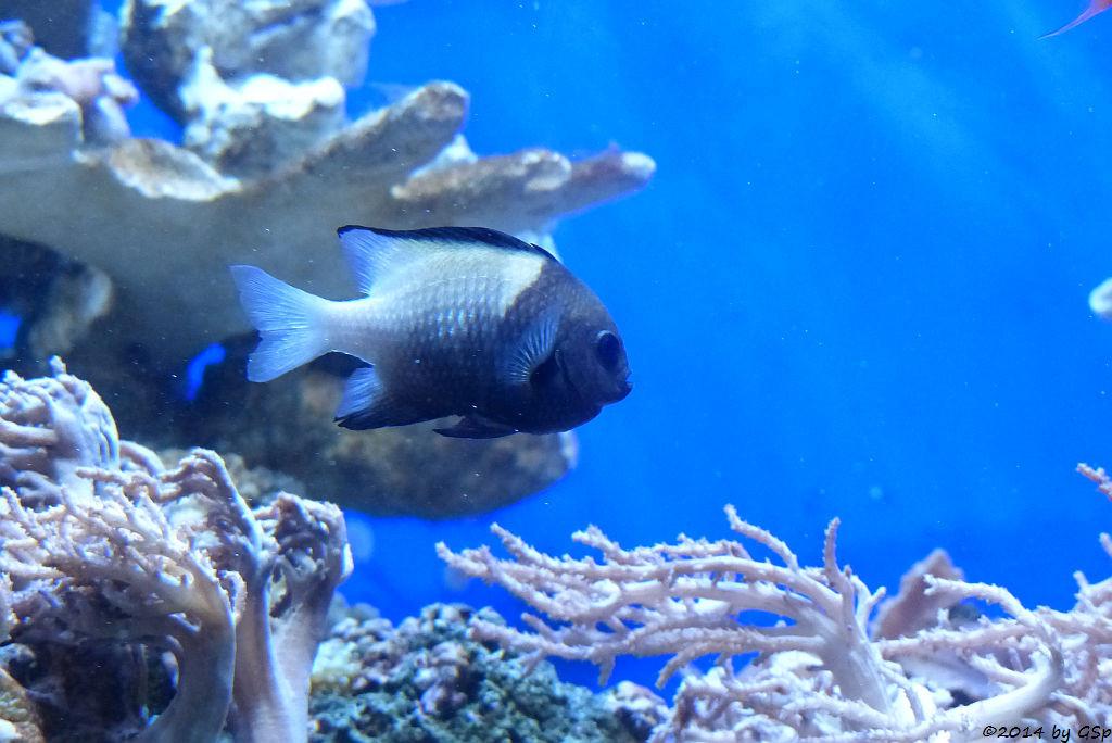 Rotmeer-Preußenfisch