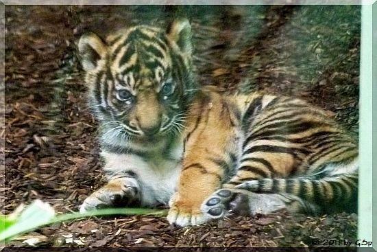 50 Fotos - Sumatratiger TARU am 10.06.11