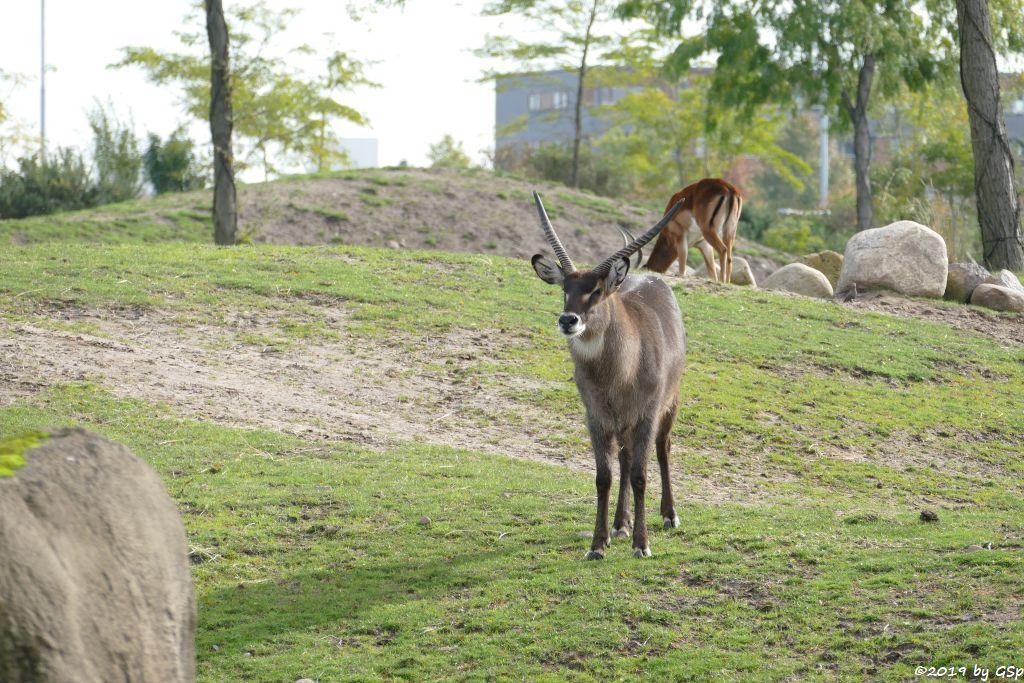 Defassa-Wasserbock (Roter Wasserbock), Gewöhnliche Impala (Schwarzfersenantilope)