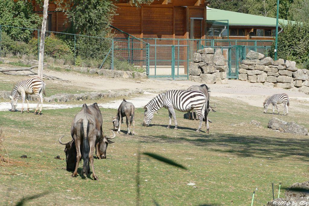 Südliches Streifengnu (Blaues Gnu), Rothschildgiraffe (Uganda-Giraffe, Baringo-Giraffe), Böhm-Steppenzebra (Grant-Zebra)