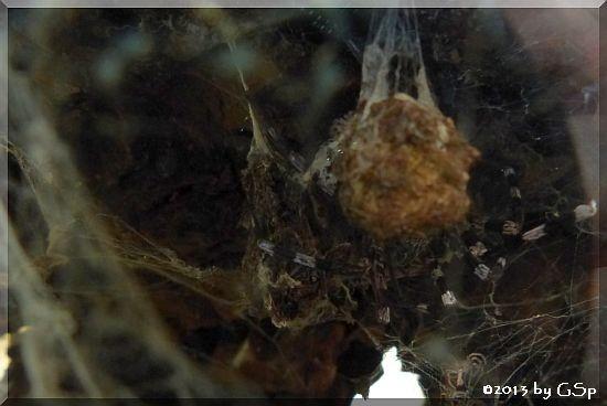 Riesenvogelspinne