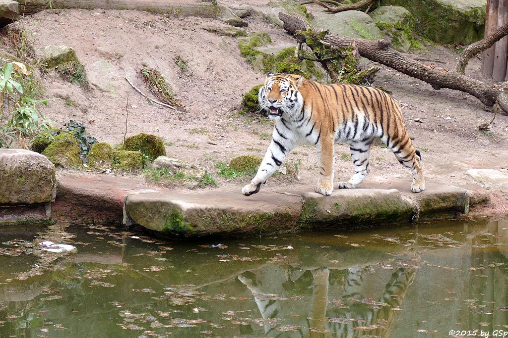 Sibirischer Tiger SAMUR