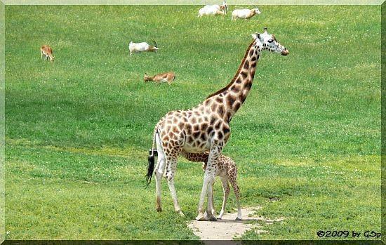 Rothschild-Giraffe, Säbelantilope und Letschwe