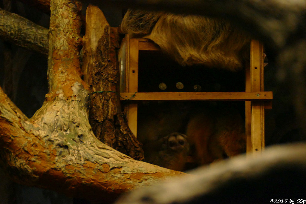 Zweifinger-Faultier, Nachtaffe