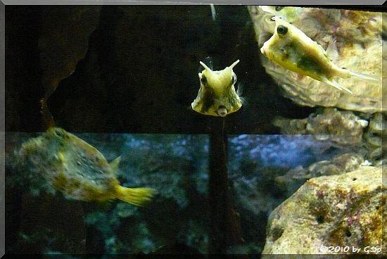 Langhorn-Kofferfisch (Gehörnter Kuh-Kofferfisch)
